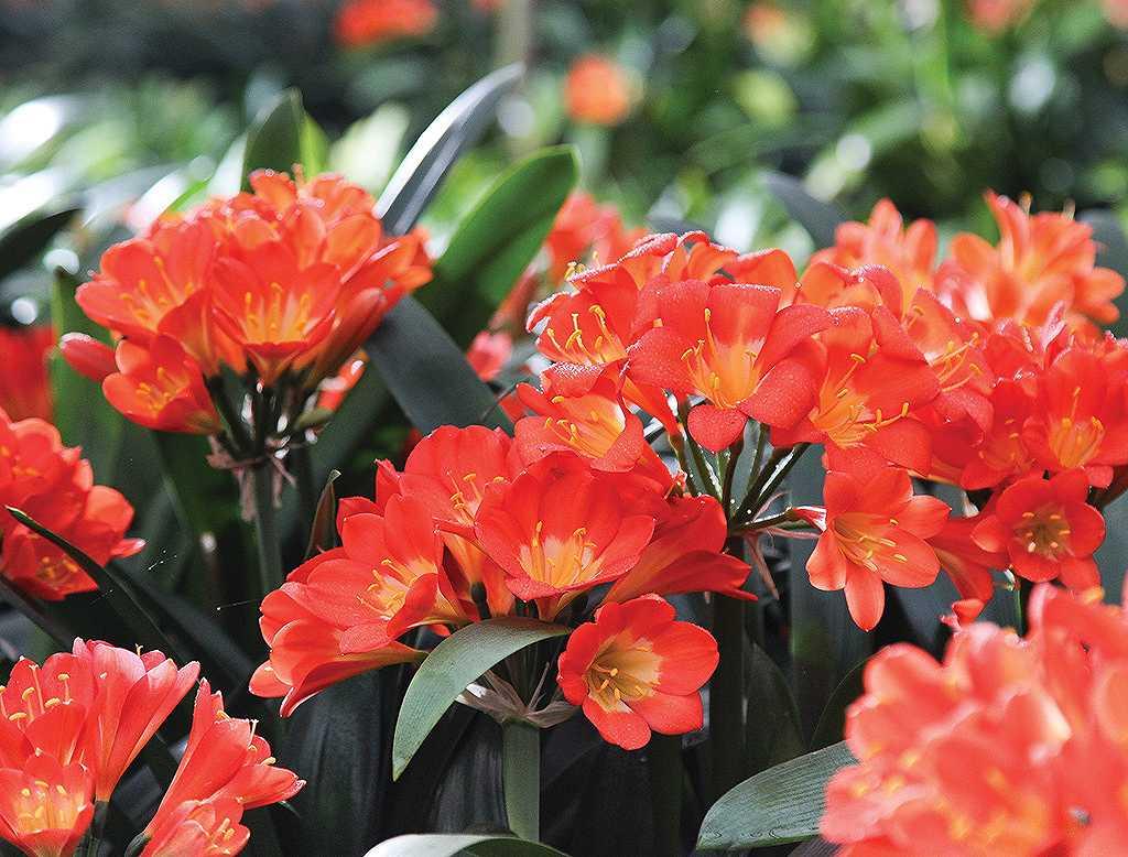 Cả vườn hoa lan quân tử đua nhau tỏa hương thơm