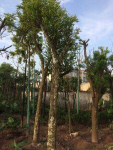Cách trồng và chăm sóc cây khế công trình
