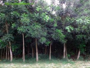 Kỹ thuật trồng và chăm sóc cây xà cừ công trình