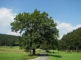 Đặc điểm của cây sao đen