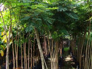 Lợi ích của cây lim xẹt
