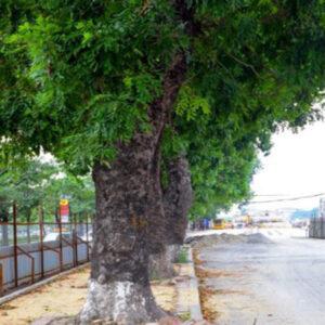 Đặc điểm của cây xà cừ công trình