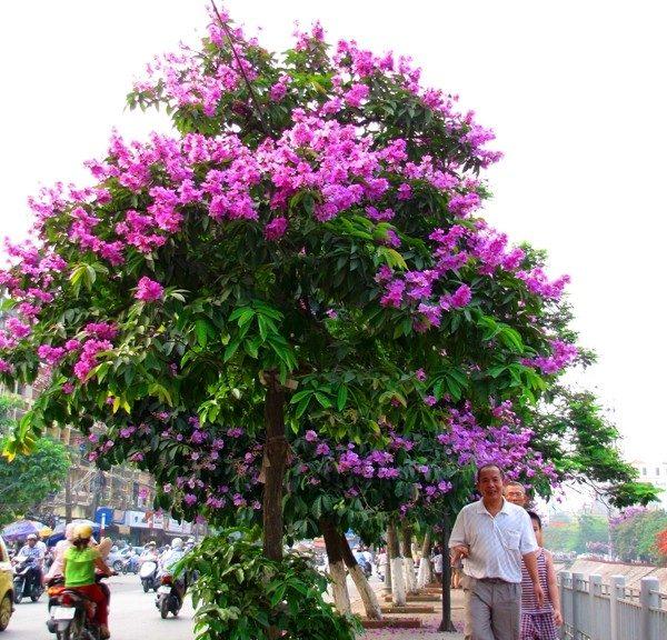 Thông tin về cây móng bò tím