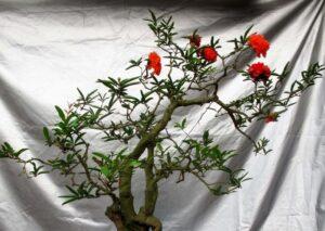 Đặc điểm cây lựu hạnh
