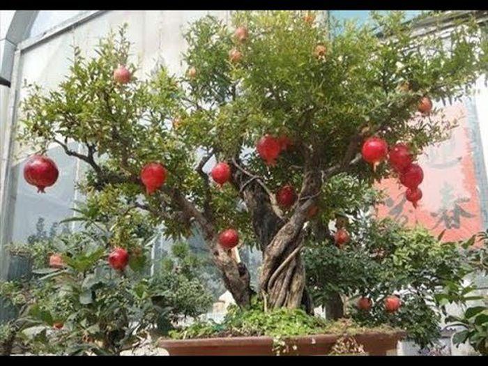 Báo giá cây lựu hạnh