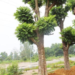 Đặc điểm sinh trưởng cây sấu công trình