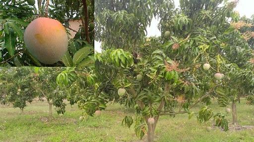 Lợi ích trồng cây xoài úc