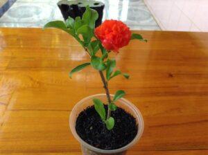 Cây lựu hạnh trồng làm cảnh
