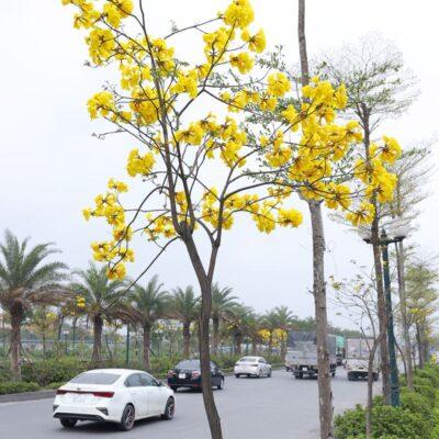 Cây Phong Linh