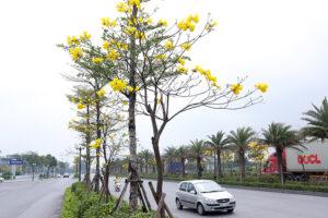 Giống cây phong linh
