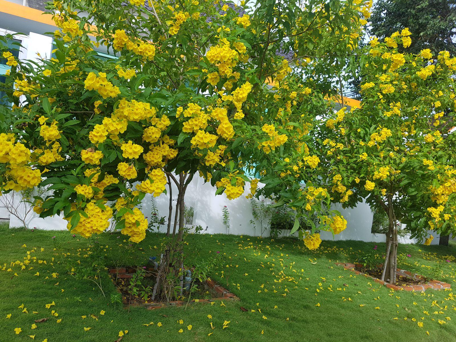 Cây huỳnh liên hoa vàng