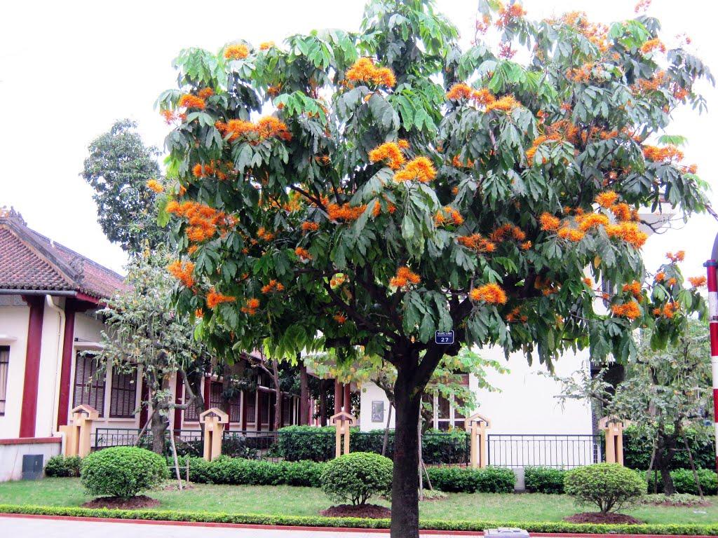 Những loại cây công trình phổ biến