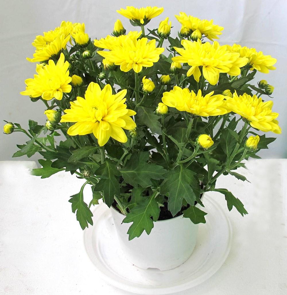 Trồng cây hoa cúc ở mộ
