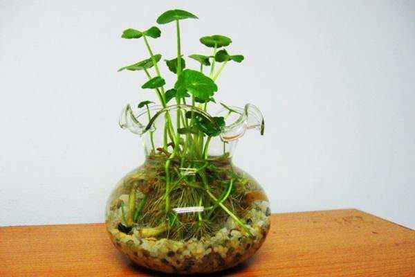 bố trí cây rau má trong phòng làm việc