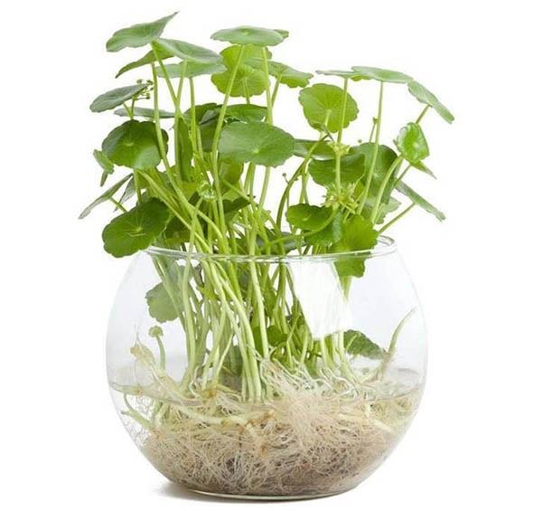 Mua cây rau má phong thủy chất lượng